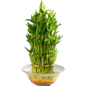 Dazzling Three Tier Bamboo Plant in Bowl