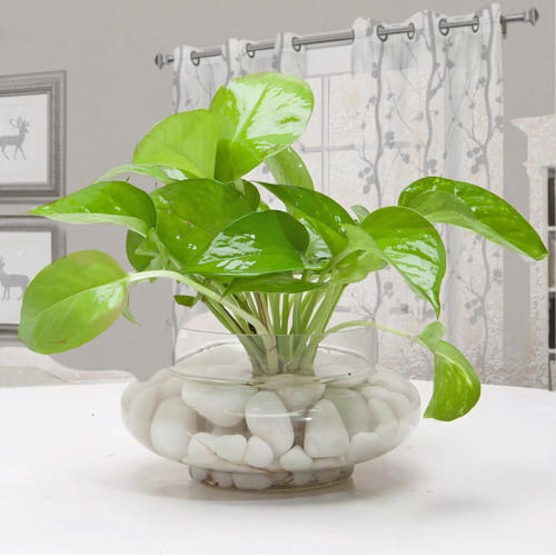 Remarkable Money Plant in Glass Vase